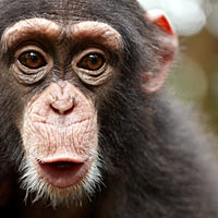 404-chimp