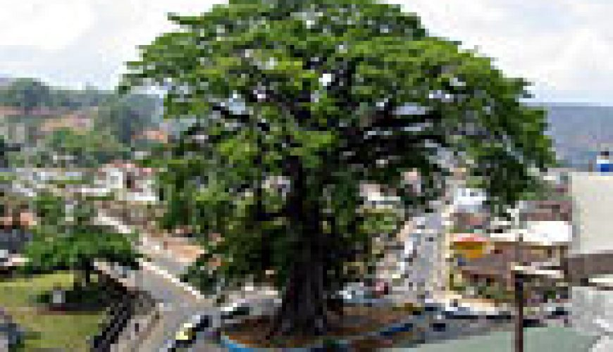 The Cotton Tree in the centre of Freetown